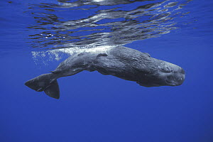 Sperm Whale (Physeter macrocephalus) calf swimming near water surface, Ogasawara Island, Japan - Hiroya Minakuchi