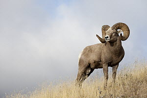 Bighorn Sheep (Ovis canadensis) ram, western Montana - Donald M. Jones