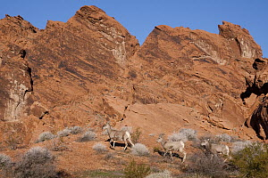 Desert Bighorn Sheep (Ovis canadensis nelsoni) ewes, southern Nevada - Donald M. Jones
