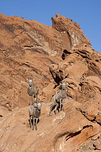 Desert Bighorn Sheep (Ovis canadensis nelsoni) ewes in desert habitat, southern Nevada - Donald M. Jones