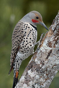 Northern Flicker (Colaptes auratus) woodpecker male foraging, western Montana  -  Donald M. Jones