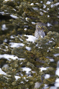 Mountain Pygmy-Owl (Glaucidium gnoma) in pine tree, northwestern Montana  -  Donald M. Jones
