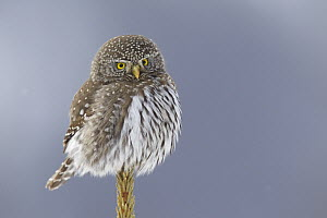 Mountain Pygmy-Owl (Glaucidium gnoma), northwestern Montana  -  Donald M. Jones