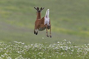 White-tailed Deer (Odocoileus virginianus) buck jumping and flashing tail, North America - Donald M. Jones