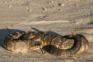 Black-tailed Rattlesnake (Crotalus molossus) in defensive posture, native to Mexico and the United States - Pete Oxford