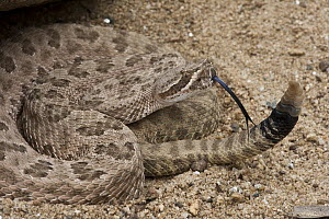 Grand Canyon Rattlesnake (Crotalus oreganus abyssus) showing rattle, native to Arizona - Pete Oxford