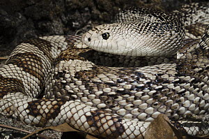 Southern Pinesnake (Pituophis melanoleucus mugitus), native to the southeastern United States  -  Pete Oxford