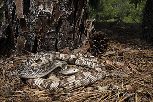 Southern Pinesnake (Pituophis melanoleucus mugitus) in pine needles, native to the southeastern United States  -  Pete Oxford