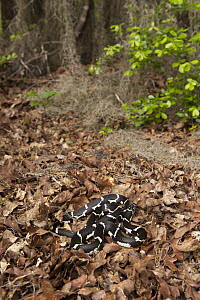 Eastern Kingsnake (Lampropeltis getula) in forest leaf litter, native to the eastern United States  -  Pete Oxford