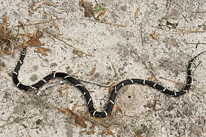 Eastern Kingsnake (Lampropeltis getula), native to the eastern United States  -  Pete Oxford