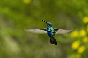 Sparkling Violet-ear (Colibri coruscans) hummingbird flying, Ecuador - Pete Oxford