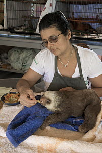 Hoffmann's Two-toed Sloth (Choloepus hoffmanni) orphaned baby fed by caretaker Xinia Villegas, Aviarios Sloth Sanctuary, Costa Rica - Suzi Eszterhas