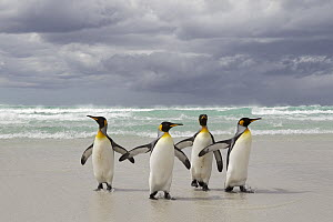 King Penguin (Aptenodytes patagonicus) group returning from the sea, Volunteer Point, Falkland Islands  -  Ingo Arndt