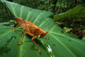 Katydid (Copiphora sp), Barro Colorado Island, Panama - Christian Ziegler