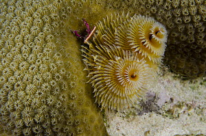 Christmas Tree Worm (Spirobranchus giganteus) filter feeding while attached to Great Star Coral (Montastraea cavernosa), Bonaire, Netherlands Antilles, Caribbean - Pete Oxford