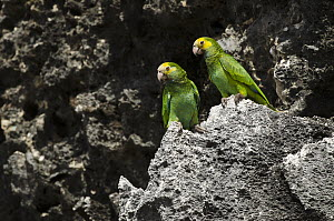 Yellow-shouldered Parrot (Amazona barbadensis) pair, Bonaire, Netherlands Antilles, Caribbean  -  Pete Oxford