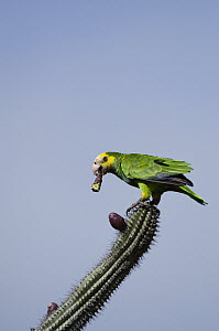 Yellow-shouldered Parrot (Amazona barbadensis) feeding on cactus flower, Bonaire, Netherlands Antilles, Caribbean  -  Pete Oxford