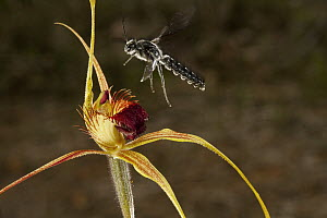 King Spider Orchid (Caladenia pectinata) being visited by male parasitic wasp pollinator which is attracted to the flower by faux female wasp pheromone, Australia - Christian Ziegler