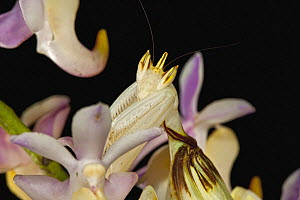 Orchid (Aerides lawrenceae) flower with camouflaged Orchid Mantis (Hymenopus coronatus), Penang, Malaysia  -  Christian Ziegler
