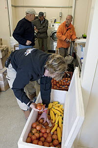 People checking vegetables in bio-security room at King Edward Point for South Georgia Heritage Trust Rat Eradication Project, South Georgia Island  -  Ingo Arndt