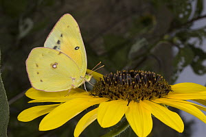 Pierid Butterfly (Phoebis sp) feeding on sunflower nectar, Sonoita, Arizona - Mark Moffett