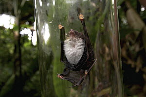 Spix's Disk-winged Bat (Thyroptera tricolor) placed in a glass cylinder to show suction cups on its wings, Smithsonian Tropical Research Station, Barro Colorado Island, Panama  -  Christian Ziegler