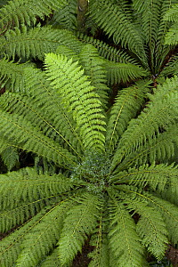 Tree Fern (Dicksonia antarctica) in rainforest, Otway National Park, Victoria, Australia - Yva Momatiuk & John Eastcott