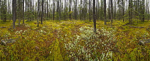 Boreal forest with thick moss and lichens on forest floor, British Columbia, Canada - Yva Momatiuk & John Eastcott