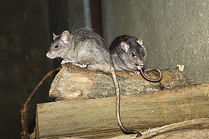 Black Rat (Rattus rattus) pair, Germany - Konrad Wothe