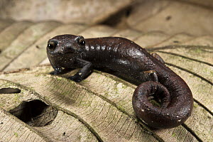 Ecuador Mushroomtongue Salamander (Bolitoglossa equatoriana), Yasuni National Park, Amazon Rainforest, Ecuador - Pete Oxford