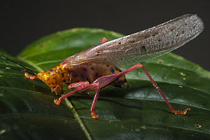 Katydid (Copiphora sp), Yasuni National Park, Amazon Rainforest, Ecuador - Pete Oxford
