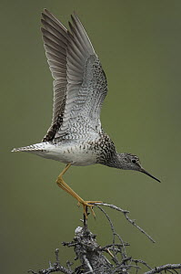Lesser Yellowlegs (Tringa flavipes) stretching wings on perch, Alaska  -  Michael Quinton