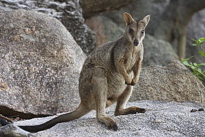 Allied Rock Wallaby (Petrogale assimilis) male on granite rock, Magnetic Island, Queensland, Australia  -  Martin Willis