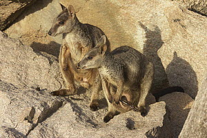 Allied Rock Wallaby (Petrogale assimilis) male and female on granite rock, Magnetic Island, Queensland, Australia  -  Martin Willis