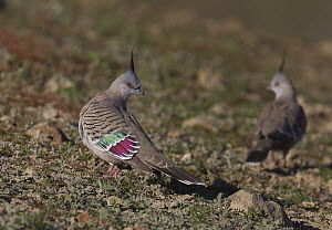 Crested Pigeon (Ocyphaps lophotes) on the ground showing iridescence on wings, Winton, Queensland, Australia  -  Martin Willis