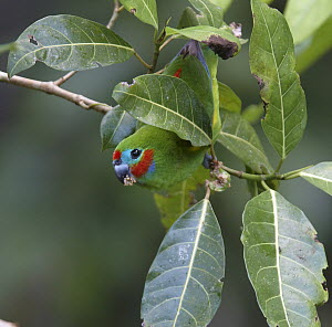 Double-eyed Fig-Parrot (Cyclopsitta diophthalma) male eating fruit from Fig (Ficus sp), Atherton Tableland, Queensland, Australia  -  Martin Willis