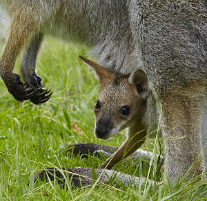 Red-necked Wallaby (Macropus rufogriseus) joey peering from mother's pouch, Bunya Mountains National Park, Queensland, Australia  -  Martin Willis