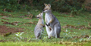 Red-necked Wallaby (Macropus rufogriseus) joey licking mother's mouth, Bunya Mountains National Park, Queensland, Australia  -  Martin Willis