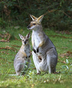 Red-necked Wallaby (Macropus rufogriseus) female and joey, Bunya Mountains National Park, Queensland, Australia  -  Martin Willis