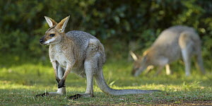 Red-necked Wallaby (Macropus rufogriseus) males feeding on grass, Bunya Mountains National Park, Queensland, Australia  -  Martin Willis