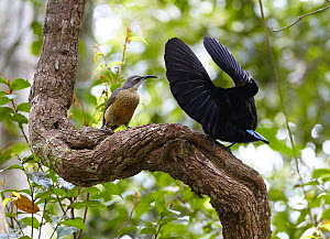 Victoria's Riflebird (Ptiloris victoriae) male displaying for female on vine lek, Malanda, Queensland, Australia - Martin Willis