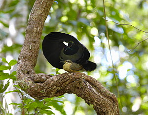 Victoria's Riflebird (Ptiloris victoriae) male mating with a female on vine lek, Malanda, Queensland, Australia - Martin Willis