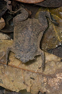 Surinam Toad (Pipa pipa) mimicking leaf litter in pond, Guyana  -  Piotr Naskrecki