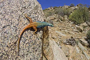 Cape Flat Lizard (Platysaurus capensis) male basking, South Africa  -  Piotr Naskrecki