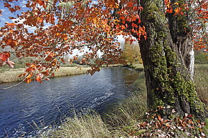Red Maple (Acer rubrum) in autumn foliage reflected in Mersey River, Kejimkujik National Park, Nova Scotia, Canada  -  Scott Leslie