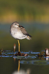 Lesser Yellowlegs (Tringa flavipes), Amherst Point Federal Migratory Bird Sanctuary, Nova Scotia, Canada  -  Scott Leslie