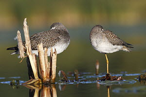 Lesser Yellowlegs (Tringa flavipes) standing beside Greater Yellowlegs (Tringa melanoleuca), Amherst Point Federal Migratory Bird Sanctuary, Nova Scotia, Canada  -  Scott Leslie