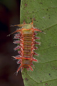 Cup Moth (Limacodidae) aposematically colored caterpillar with spines that can deliver an extremely painful sting, Atewa Range Forest Reserve, Ghana  -  Piotr Naskrecki