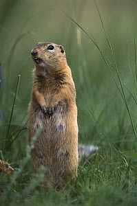 Long-tailed Ground Squirrel (Spermophilus undulatus) on lookout, Mongolia  -  Pete Oxford