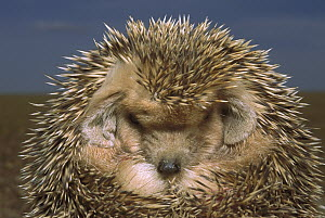 Long-eared Hedgehog (Hemiechinus auritus) rolled up in defensive posture, Gobi Desert, Mongolia  -  Pete Oxford